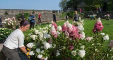 Les hortensias au chateau d'Angers